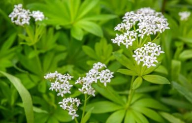 Lazarkinja lat. Galium odoratum